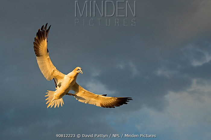 Gannet (Morus bassanus ) flying, wings spread coming in to land in colony, late evening light, Saltee Islands, Ireland. June