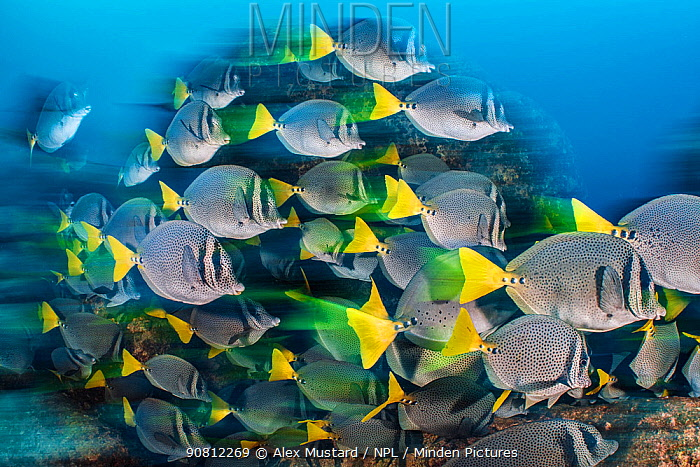 Long exposure of a school of yellowtail surgeonfish (Prionurus punctatus), these fish school to help them access the best feeding areas, which are controlled by aggressive damselfish. Los Islotes, La Paz, Baja California Sur, Mexico. Sea of Cortez, Gulf of California, East Pacific Ocean.