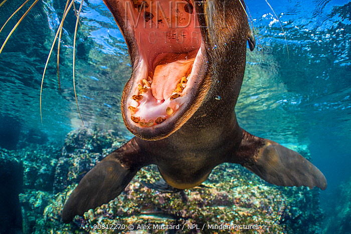 California sea lion (Zalophus californianus) with mouth open close to the camera. The milk teeth of this pup show decay, which is quite usual. Los Islotes, La Paz, Baja California Sur, Mexico. Sea of Cortez, Gulf of California, East Pacific Ocean.