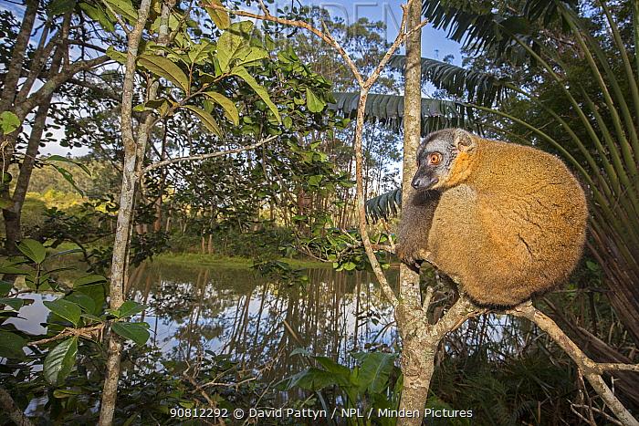 Common brown lemur (Eulemur fulvus) perched in a tree, Vakona island, Andasibe area, Madagascar. Captive