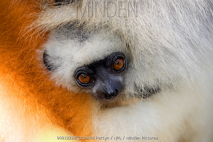Diademed sifaka (Propithecus diadema diadema) baby hiding in the fur of its mother, Vakona island, Andasibe, Madagascar. Captive.