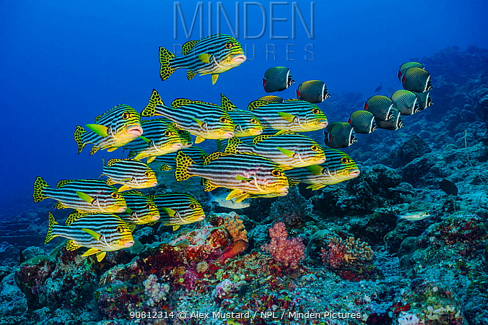 Oriental sweetlips (Plectorhinchus vittatus)l and Redtail butterflyfish (Chaetodon collare) schools in coral reef. Lankan Island, North Male Atoll, Maldives. Indian Ocean.