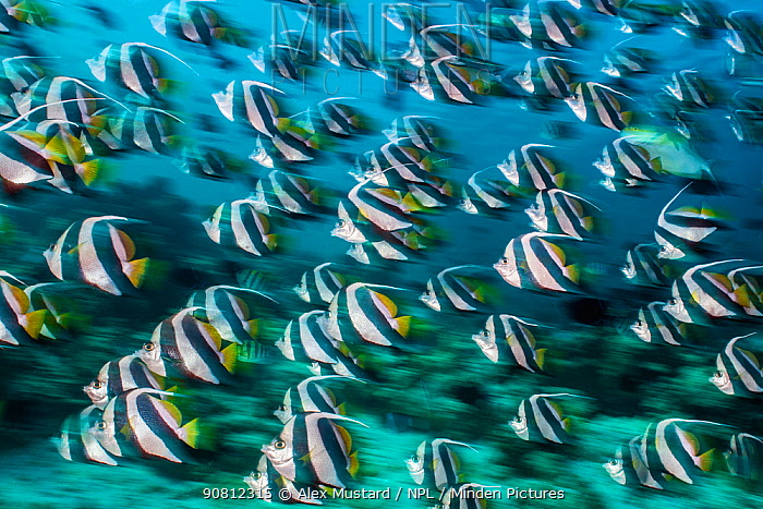 Bannerfish (Heniochus diphreutes) schooling in coral reef. Long exposure. North Male Atoll, Maldives. Indian Ocean.