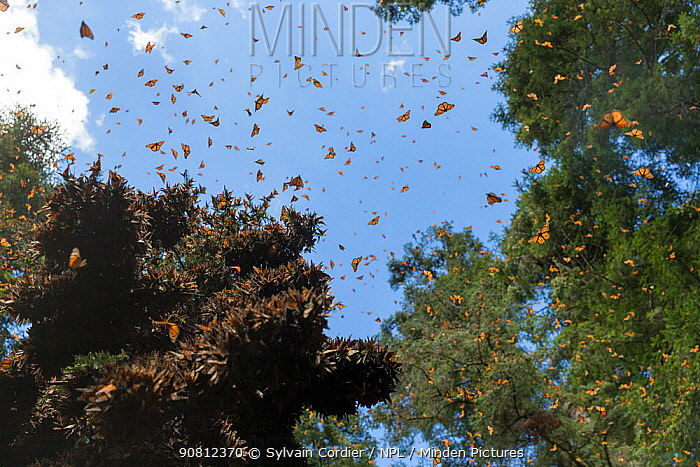 Monarch butterfly (Danaus plexippus), wintering from November to March, in Oyamel pine forests (Abies religiosa) Monarch Butterfly Biosphere Reserve, Mexico.
