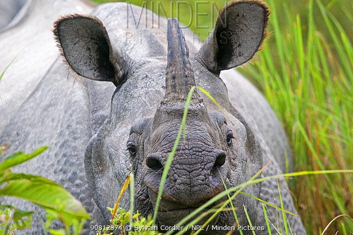 Indian rhinoceros (Rhinoceros unicornis) Kaziranga National Park, Assam, India.