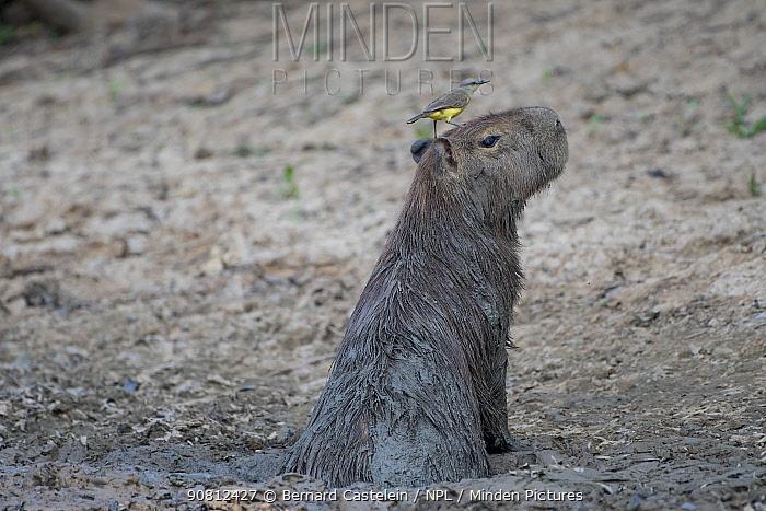 Capybara (Hydrochaeris hydrochaeris), mudbathing, and Tropical KIngbird ( Tyrannus melancholicus) Pampas del Yacuma Protected Area, Bolivia