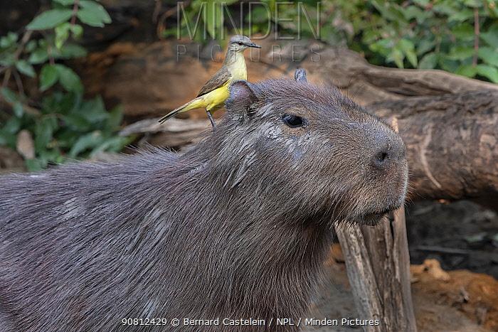Capybara (Hydrochaeris hydrochaeris), and Tropical KIngbird ( Tyrannus melancholicus) Pampas del Yacuma Protected Area, Bolivia