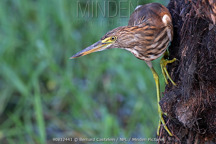 Indian Pond Heron ( Ardeola grayii), Keoladeo NP, Bharatpur, India