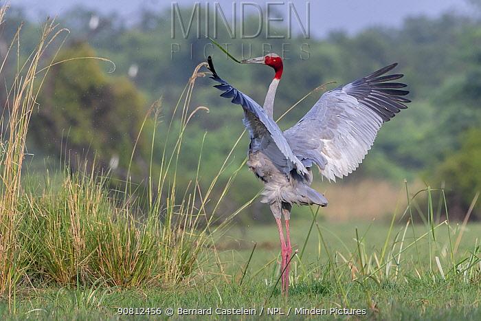 Sarus crane (Grus antigone), male displaying, Keoladeo NP, Bharatpur, India