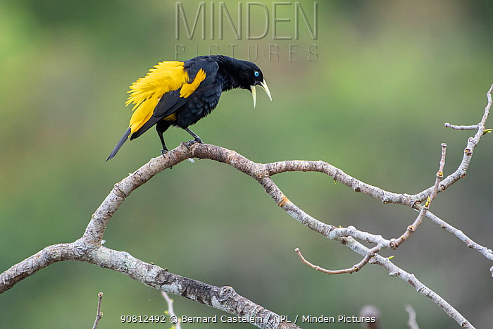 Yellow-rumped cacique (Cacicus cela) calling, Madidi NP, Bolivia