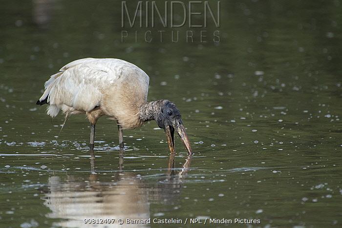 Wood stork (Mycteria americana) feeding, Pampas del Yacuma Protected Area, Bolivia