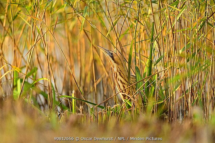 Great bittern (Botaurus stellaris) standing in reeds in a channel. Suffolk, UK. November.