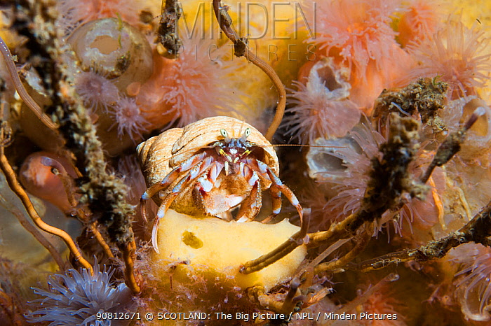 Hermit crab (Pagurus bernhardus) sat on yellow sponge, Loch Etive, west coast of Scotland, UK, August.