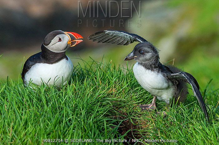 Puffin (Fratercula arctica) and puffling flapping wings, Hermaness, Shetland, Scotland, UK. July.