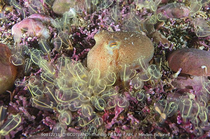 Curled octopus (Eledone cirrhosa) amongst a mearl bed, with Lightbulb tunicates (Clavelina lepadiformis) Shetland, Scotland, UK, August.