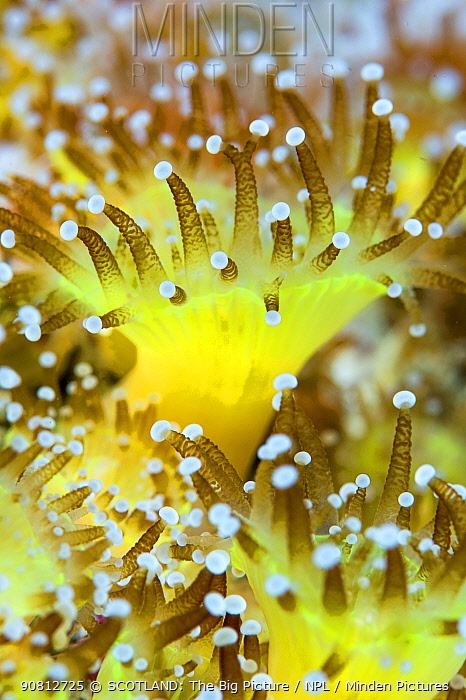 Close up of a colony of Jewel anemones (Corynactis viridis) Scotland, UK, October.