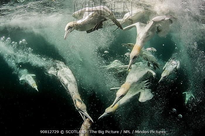 Northern gannets (Morus bassanus) diving for fish, split level shot, Shetland, Scotland, UK, July.
