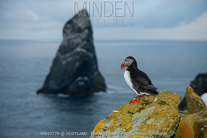 Puffin (Fratercula arctica) looking out towards Stack Lee from the island of Boreray, St Kilda, SCotland, UK, May.