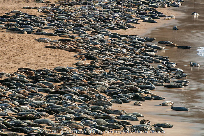 Grey seal (Halichoerus grypus) huge group hauled out on a beach, Island of Mingulay, west coast of Scotland. May.