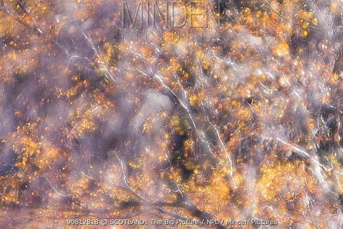 Impression of Birch tree (Betula pendula) in autumn , Scotland, UK. November.