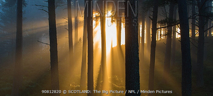 Sunlight splintering through misty pine forest at sunset, Glencharnoch Wood, Cairngorms National Park, Scotland, UK.November