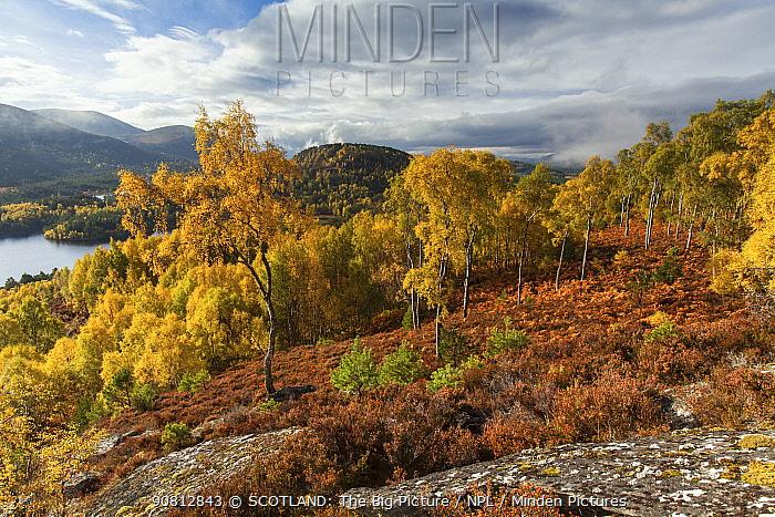 Birch woodland (Betula pendula) in autumn, Rothiemurchus Forest, Cairngorms National Park, Scotland, UK.October