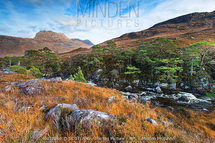 Remnant pines in wooded ravine and view to Slioch, Torridon, Scotland, UK. November.