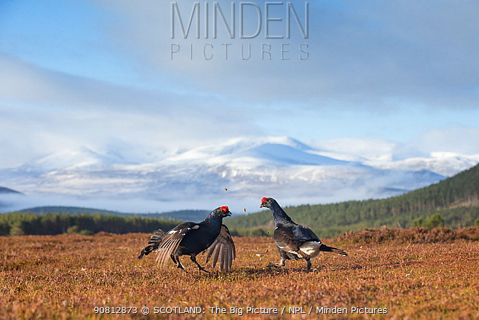 Black Grouse (Tetrao tetrix) two males fighting on lek, Cairngorms National Park, Scotland, UK.May
