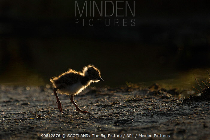 Lapwing (Vanellus vanellus), young chick backlit, Caithness, Scotland, UK, May.