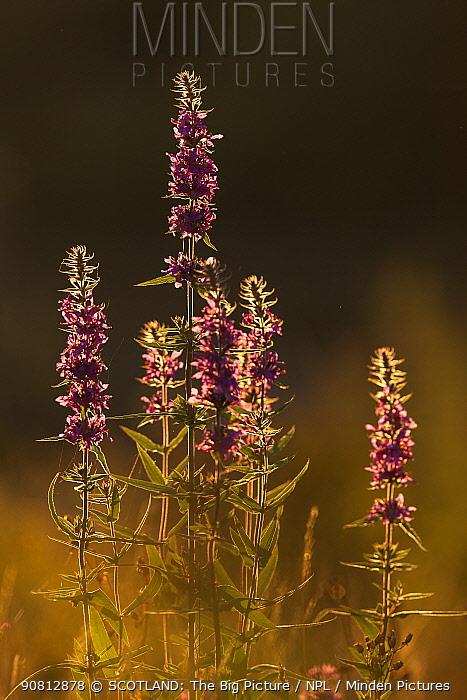 Purple loosestrife (Lythrum salicaria) flower spikes in evening light, Scotland, UK, September