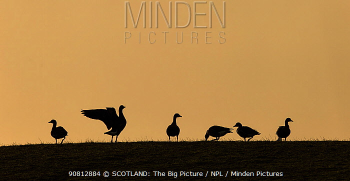 White-fronted goose (Anser albifrons) small group silhouetted at sunset, Islay, Scotland, UK., March