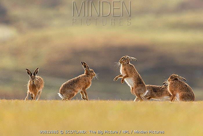 Brown hare, (Lepus europaeus), group of animals in field, Islay, Scotland, UK., March