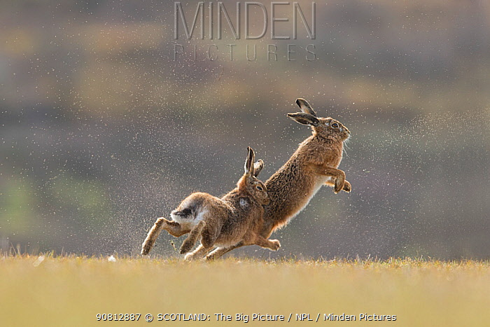 Brown hare, (Lepus europaeus), male in pursuit of female in-season, Islay, Scotland, UK., March