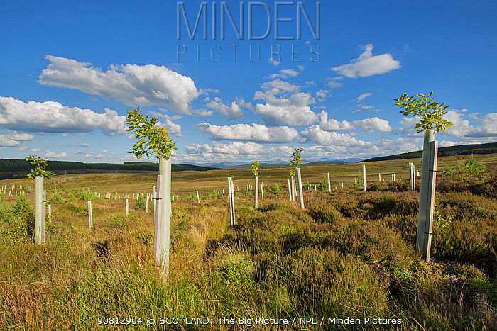 Oak (Quercus robur) saplings in tree guards planted as part of woodland expansion on moorland, Cairngorms National Park, Scotland, UK, July.