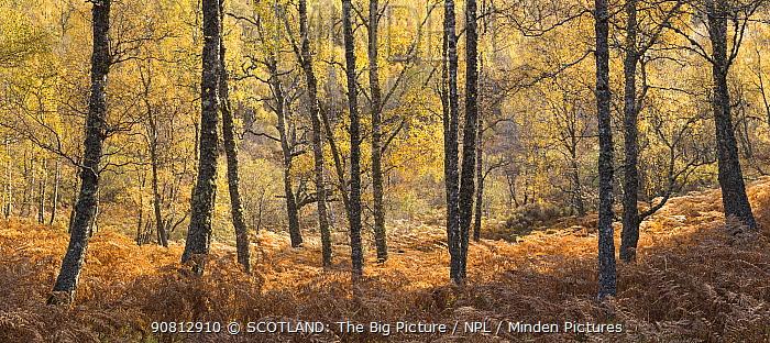 Birch woodland in autumn, Creagellachie NNR, Cairngorms National Park, Scotland, UK., October