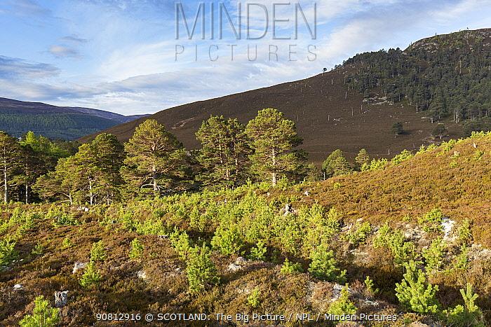 Naturally regenerating pine trees on Mar Lodge Estate, Cairngorms National Park, Scotland, UK.May