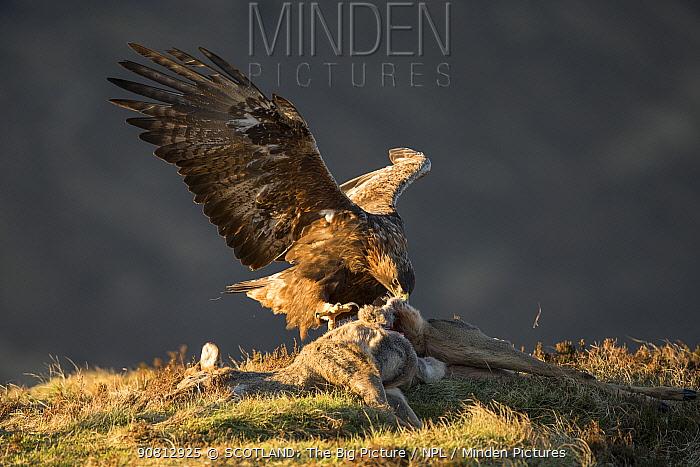 Golden Eagle (Aquila chrysaetos) adult feeding on roe deer carcass, Isle of Skye, Scotland, UK.February