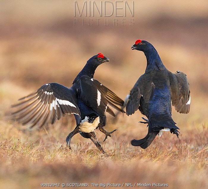 Black Grouse (Tetrao tetrix), two males fighting on lek , Scotland, UK. April.