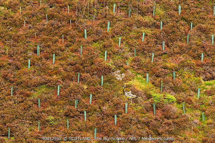 Newly planted trees protected by tree guards on moorland, Cairngorms National Park, Scotland, UK.May