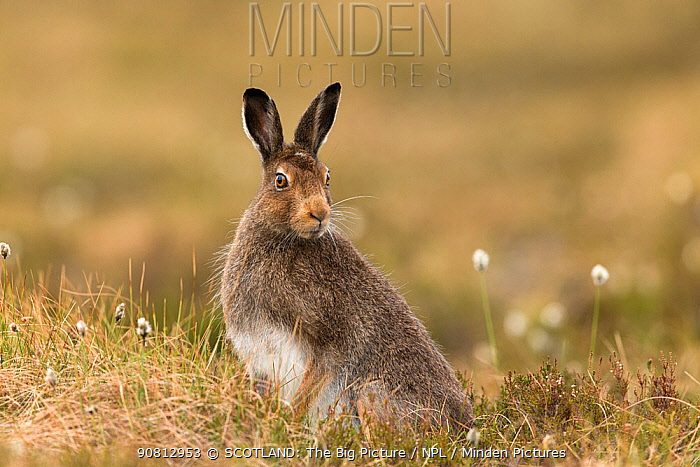 Mountain hare, (Lepus timidus), adult in spring pelage on moorland, Scotland, UK, May.