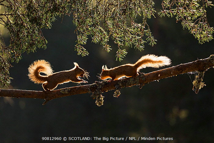 Red squirrel, (Sciurus vulgaris), two backlit on pine branch, Cairngorms National Park, Scotland, UK.May