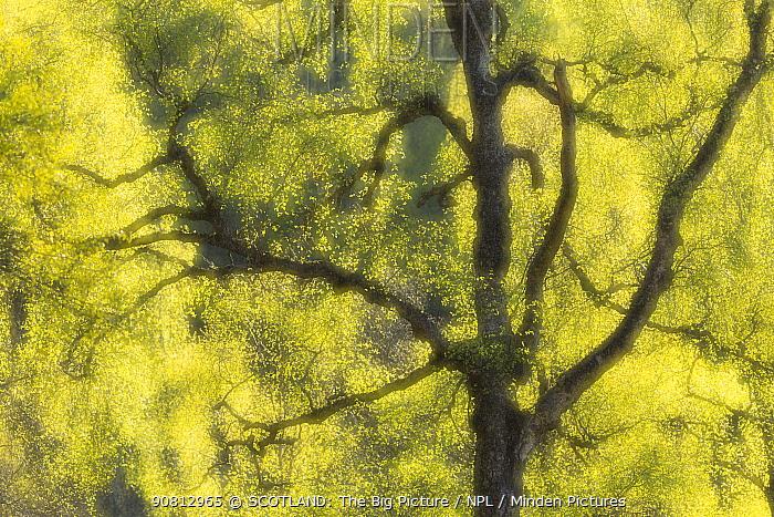 Creative impression of Silver birch (Betula pendula) foliage, Creagellachie NNR, Cairngorms National Park, Scotland, UK.May