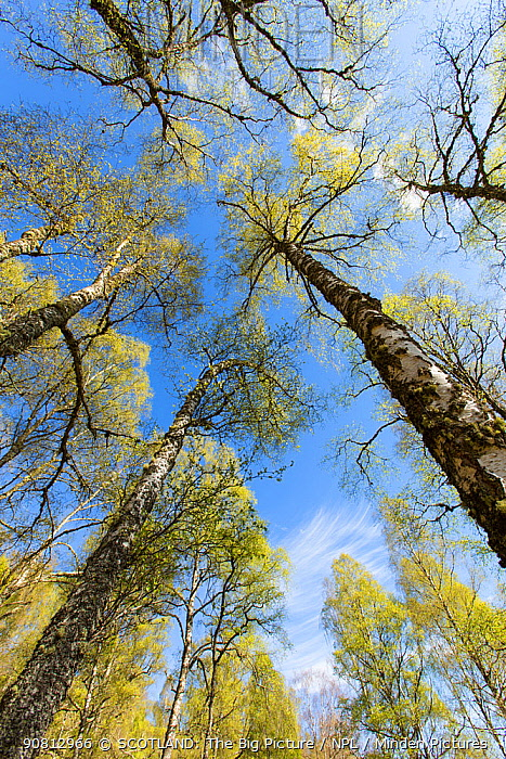 Birch (Betula pendula) woodland in spring, Creagellachie NNR, Cairngorms National Park, Scotland, UK., May