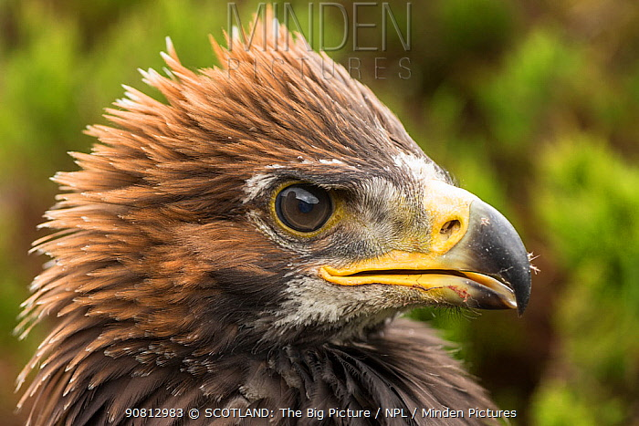 Golden eagle (Aquila chrysaetos) close-up chick age 9 weeks, Cairngirms National Park, Scotland, UK, June.