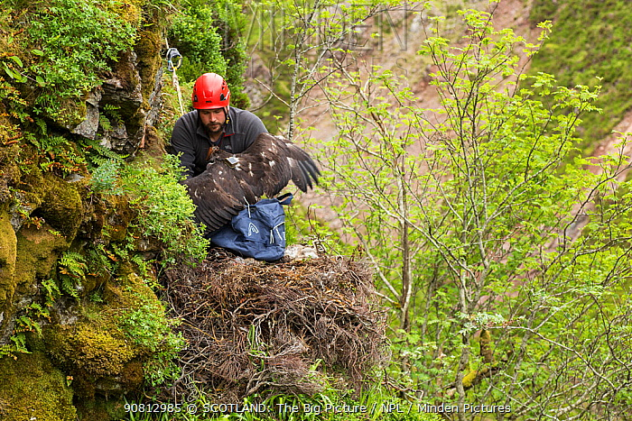 Field worker abseiling to Golden eagle (Aquila chrysaetos) nest to return a recently satellite-tagged chick, Cairngorms National Park, Scotland, UK, June.