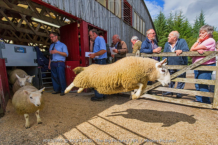 Sheep running out of building at livestock aucition, Scotland, UK. August.