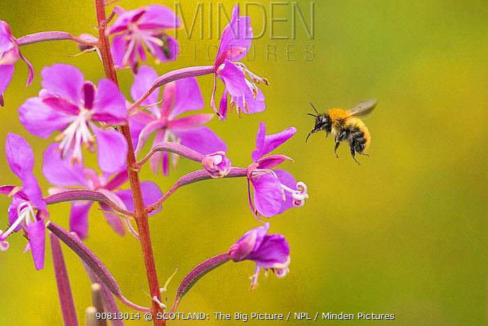 Bumblebee, (Bombus spp), in flight near rosebay willowherb flower, Scotland, UK, August.