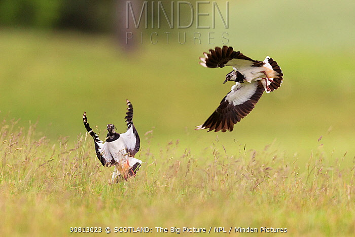 Lapwing, (Vanellus vanellus), two birds in flight over breeding territory, Scotland, UK, July.