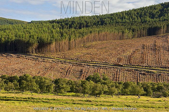 Partial felling of pine plantation, Sutherland, Scotland, UK, July 2017.