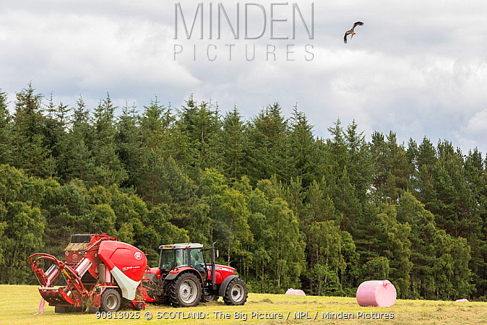 Red kite (Milvus milvus) in flight scanning for prey disturbed by tractor, Inverness-shire, Scotland, UK, July 2017.
